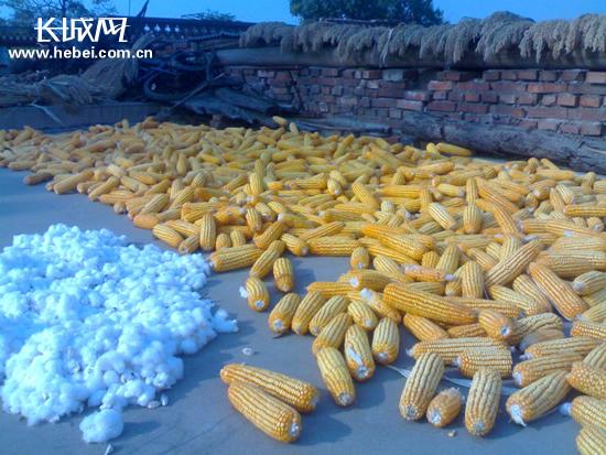 玉米,高粱,棉花收获满满.长城网