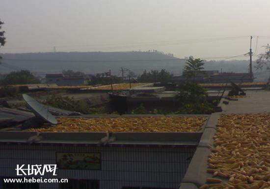 玉米晒满了房顶.长城网