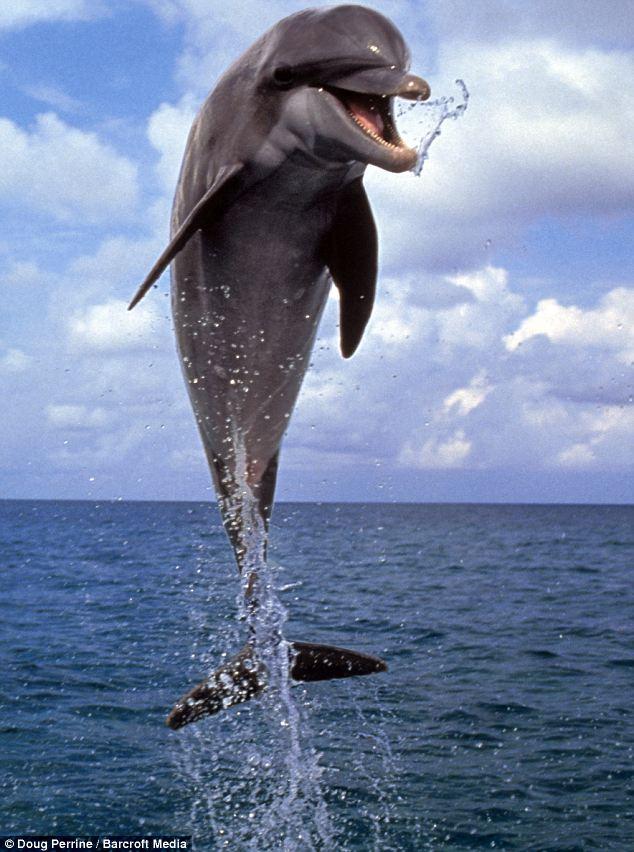 活泼海豚海面秀优美身姿