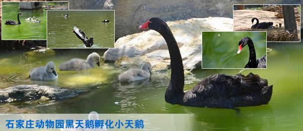石家庄动物园黑天鹅孵化小黑天鹅