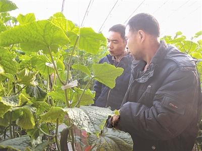该县榆树林子镇一带,涌现出很多设施蔬菜种植园区,王凤虎就是这些园区