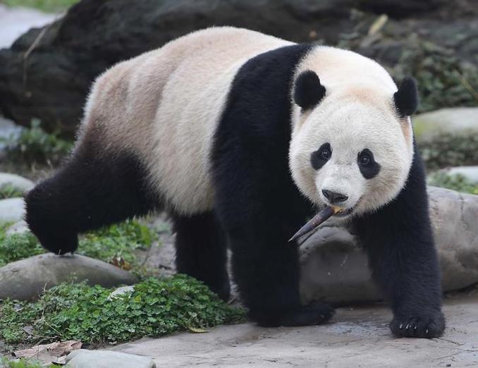 """旅美明星大熊猫""""宝宝""""结束隔离今日亮相"""
