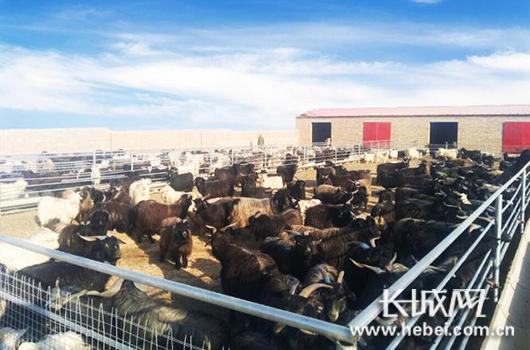 合作社中养殖的黑山羊。图片由驻村工作组提供