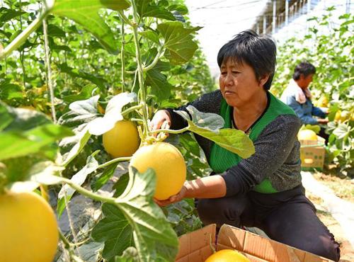新河:设施农业助推3万群众稳定脱贫
