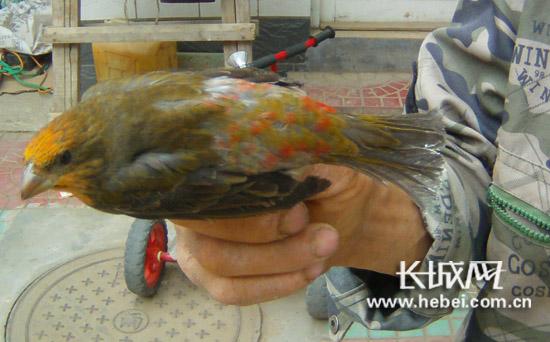 麻料鸟(学名朱雀)属于国家