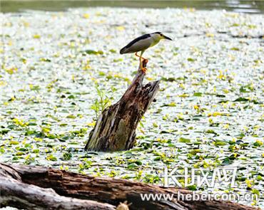 """澳门星际岛:荇菜大面积""""浮""""出水面 向市民展示良好的水生态环境"""