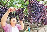 张家口怀来县李官营村的果农在大棚内采摘葡萄