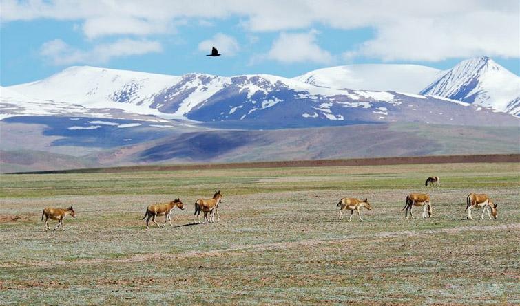 """追寻青藏高原""""神山圣湖""""间的野生动物"""