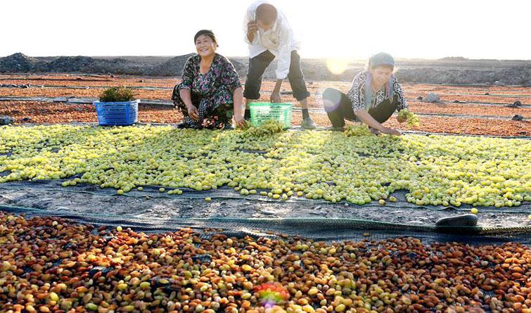 吐鲁番晾晒葡萄