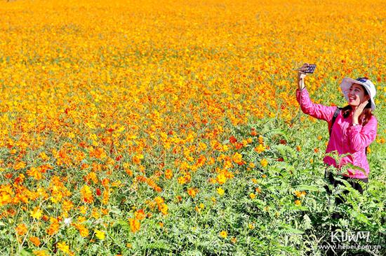 【聚焦河北省第二届旅发大会】秦皇岛:黄色花海装扮观光铁路沿线