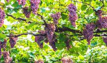 潘家峪的葡萄熟了
