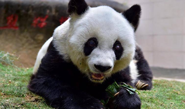"""37岁的长寿大熊猫""""巴斯""""离世"""