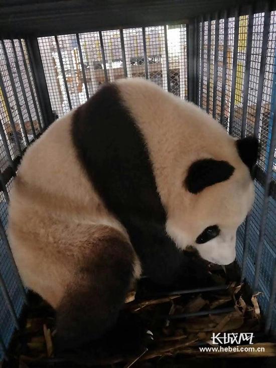 长城网9月21日讯(记者 刘延丽 通讯员 张红昱 宋静)9月14日至15日,石家庄机场圆满完成4只国宝大熊猫的航空运输保障任务,这是今年石家庄机场首次运输大中型活体动物。   据悉,这4只大熊猫分两批,先后乘坐3U8669航班,由成都运抵石家庄,再运往保定动物园。4只大熊猫乖巧可爱,名字悦耳好听,分别是文惠、雅美、新宝和华宝,有望在国庆节假期与游客见面。   据石家庄机场工作人员介绍,活体动物运输不同于一般货物,有严格的程序和要求。自接到运输任务后,为协助保定动物园快捷办理提取手续,石家庄机场货运部