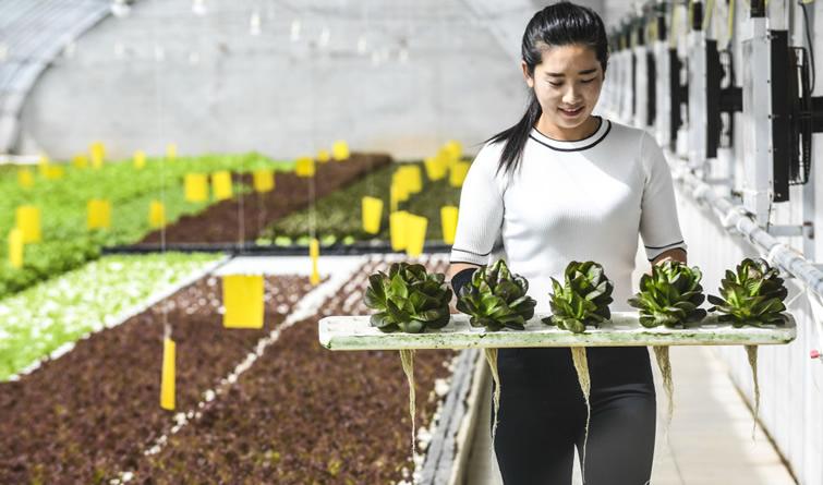 河北永清:无土水培蔬菜引领蔬菜产业升级