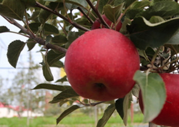 【砥砺奋进的五年】小苹果种出大智慧