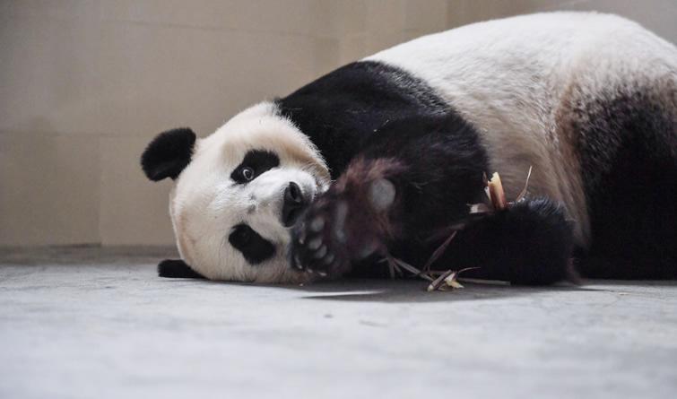 """大熊猫""""彩陶""""""""湖春""""启程赴印尼"""