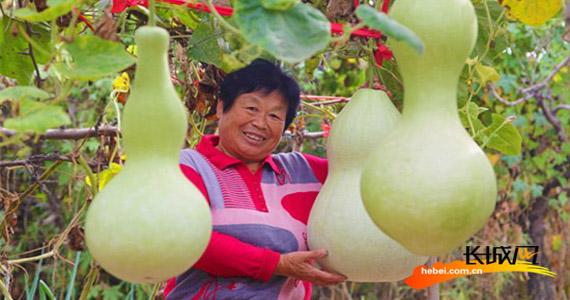"""永清农民:种""""葫芦""""种出""""福禄""""来"""