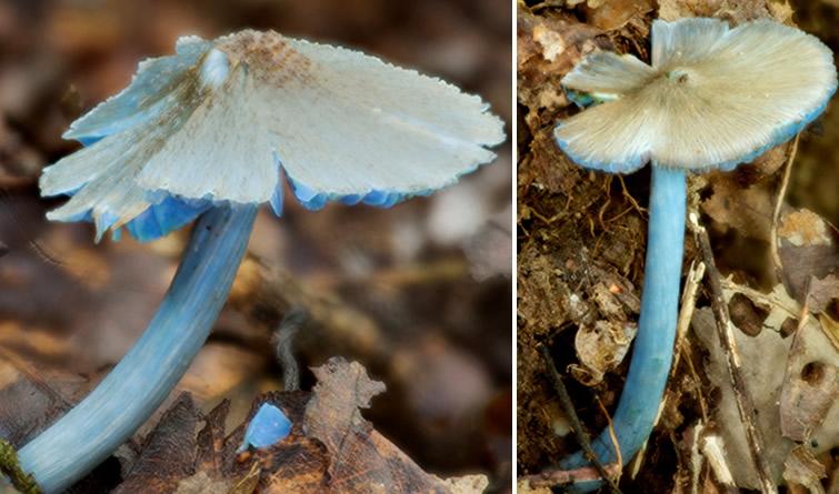 云南发现一蓝色蘑菇新种