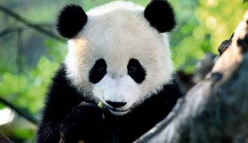 动物体检妙趣横生 熊猫抽血握紧拳头