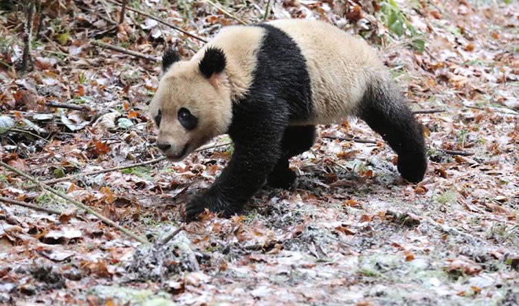 """大熊猫""""八喜""""""""映雪""""结伴回归大自然"""