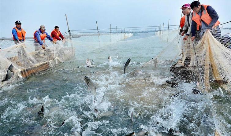 江西鄱阳:鱼跃人欢冬捕忙