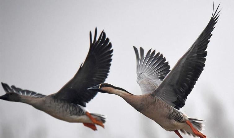 大批候鸟飞抵鄱阳湖越冬