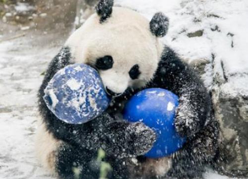 神农架 迎来降雪 大熊猫雪地撒欢耍宝