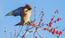 太平鸟群聚避暑山庄