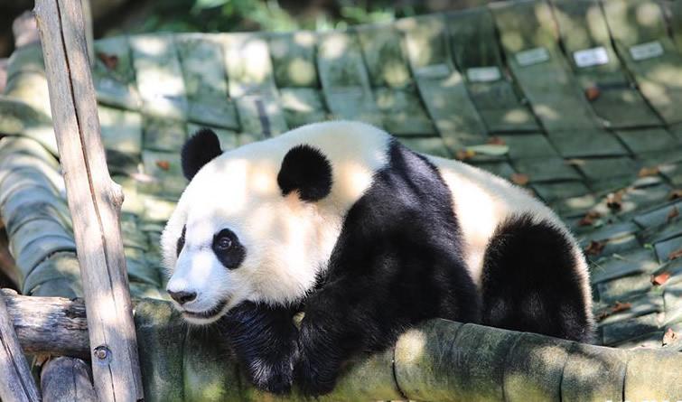 萌动全球的大熊猫