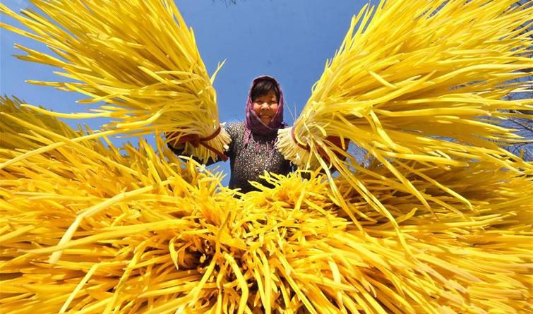 山东沂源:万池蒜黄遍地金