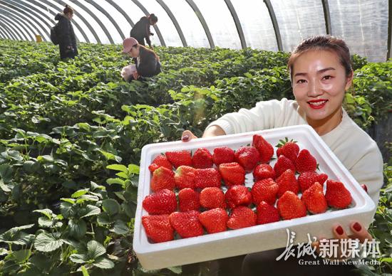 反季节草莓助农增收