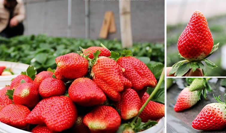 隆冬时节草莓红 广平大棚迎来采摘游客