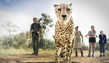 """南非三只猎豹""""兼职""""当导游"""