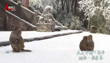 萌哭!张家界猕猴嚼雪吃,撒娇求抱抱!