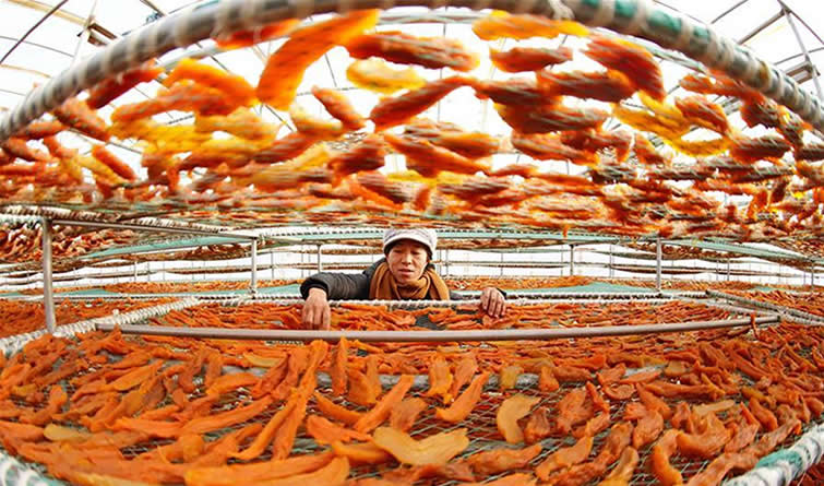 河北卢龙:鲜食甘薯深加工促增收