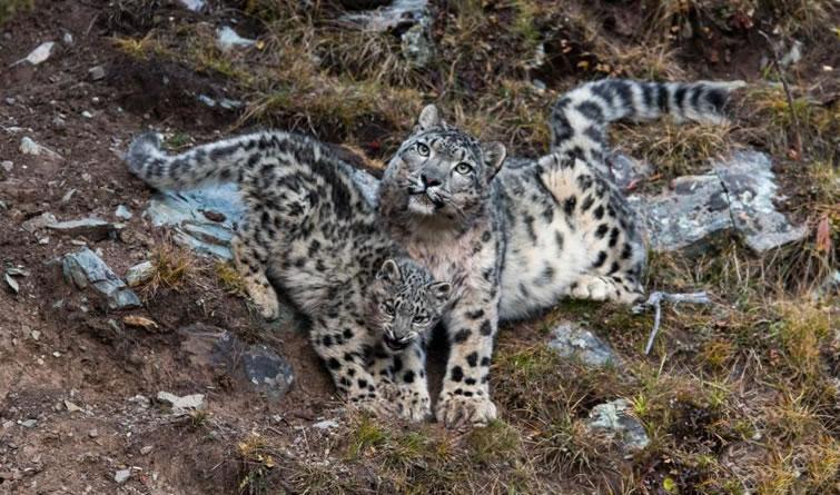 摄影师在青海杂多拍摄到小雪豹珍贵影像