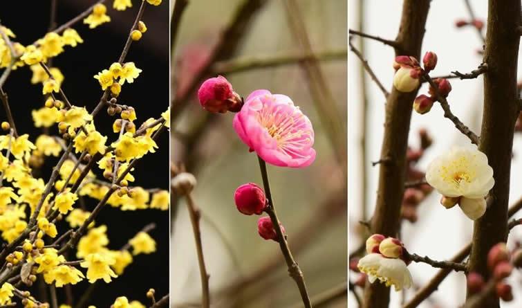 杭州:孤山寻梅