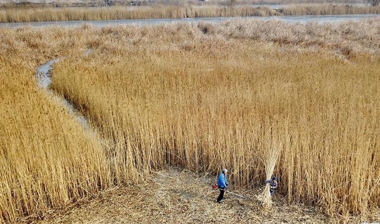 白洋淀:冬收芦苇巧生金