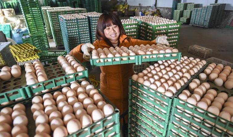 河北大城:特色养鸡助农致富