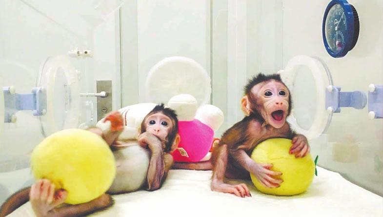 """为""""克隆猴诞生""""点赞"""