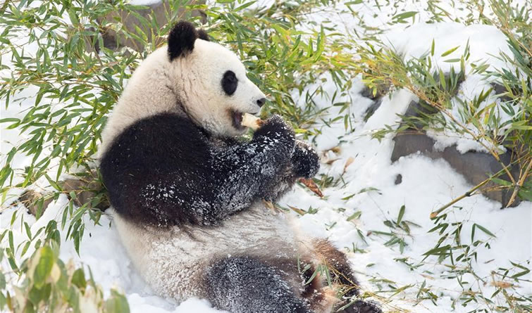 "熊猫""戏""雪"