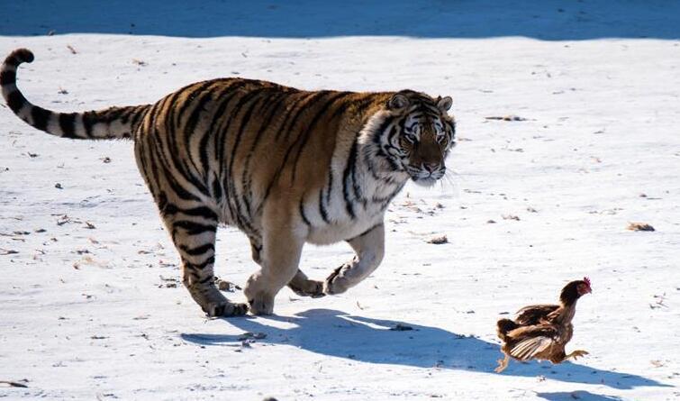 哈尔滨东北虎进行野化训练 雪地里追鸡