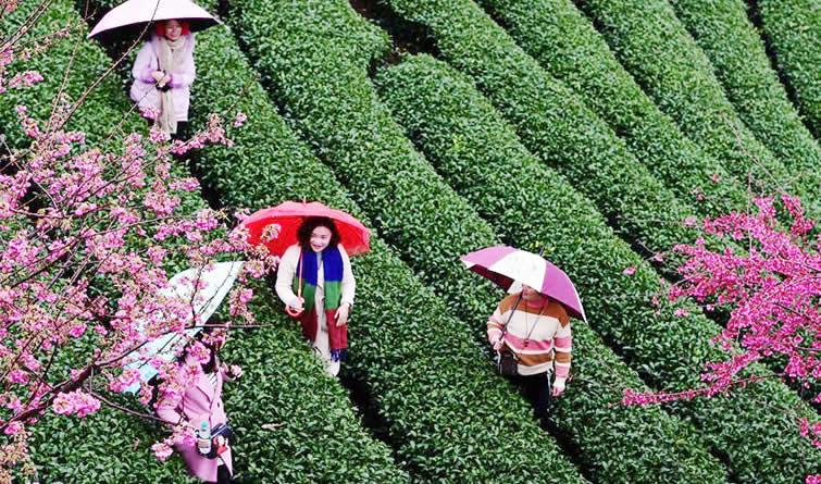 福建:茶园樱花绿映红