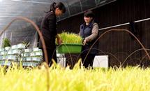 """冀州:""""盆景蔬菜""""俏销节前市场"""
