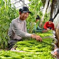乐亭:近千家农业专业合作社引领农民圆梦增收