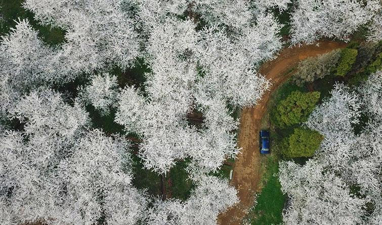 樱花满天赏春光