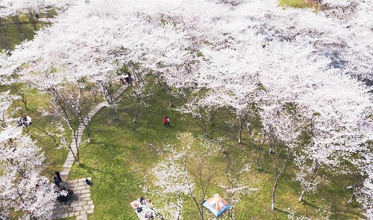 浙江绍兴:百亩樱花盛放 灿若云霞