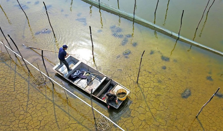 江苏泗洪:蟹塘栽种水草忙