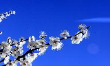 春至蔚州惹人醉 万亩杏花一时新