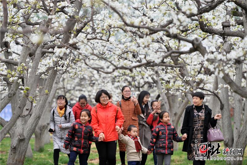 定州:梨花盛开引游人